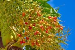 As datas começam a amadurecer em um ramo de uma palmeira contra um fundo do céu azul imagens de stock