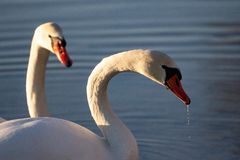 As duas cisnes imagem de stock