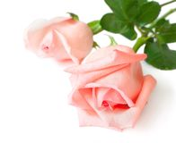 As duas rosas Imagem de Stock Royalty Free