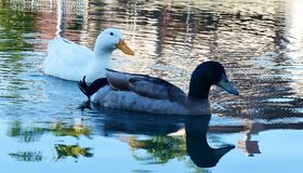 White duck and a mallard swimming toward dry land stock image