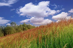 As ervas amadurecem nos spikelets foto de stock royalty free