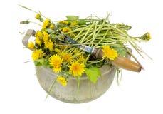 As ervas daninhas do jardim são dentes-de-leão Imagens de Stock Royalty Free