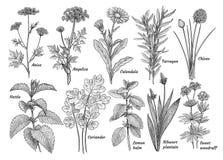 As ervas, especiarias, plantam a coleção, ilustração, desenho, gravura, tinta, linha arte, vetor ilustração do vetor