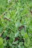 As ervilhas tecem suas gavinhas firmemente em torno das cordas de apoio imagem de stock