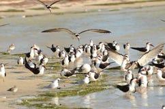 As espumadeiras pretas entram aterrando em uma praia em Florida Fotografia de Stock