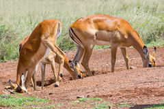 As fêmeas da impala no sal lambem imagens de stock