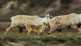 As fêmeas de Calibou jouneyed ao norte distante às vitelas e à grama fresca nova procurando Canadá do norte foto de stock