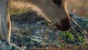 As fêmeas de Calibou jouneyed ao norte distante às vitelas e à grama fresca nova procurando Canadá do norte imagem de stock