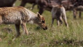 As fêmeas de Calibou jouneyed ao norte distante às vitelas e à grama fresca nova procurando Canadá do norte fotografia de stock