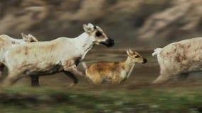 As fêmeas de Calibou jouneyed ao norte distante às vitelas e à grama fresca nova procurando Canadá do norte imagens de stock