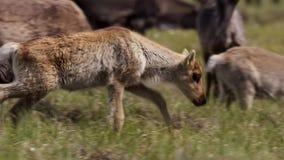 As fêmeas de Calibou jouneyed ao norte distante às vitelas e à grama fresca nova procurando Canadá do norte imagem de stock royalty free