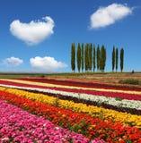 As faixas largas das cores brilhantes - vermelhas, amarelas e cor-de-rosa Fotos de Stock Royalty Free