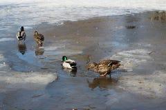 As famílias de patos selvagens andam no gelo fino no parque em um dia de mola fotos de stock