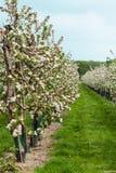 As fileiras de árvores de maçã de florescência no fruto jardinam foto de stock royalty free