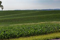 As fileiras de plantas de milho novas em um grande milho cultivam em Omaha Nebraska foto de stock royalty free