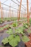 As fileiras do melão novo plantam o crescimento no grande berçário da planta Fotografia de Stock Royalty Free