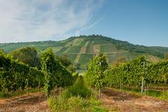 As fileiras verdes luxúrias das uvas Foto de Stock