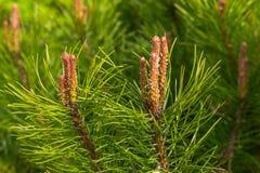 As filiais do cedro Fundo dos ramos do cedro Siberian Cones novos no pinho Feche acima da natureza Pinho novo Foto de Stock