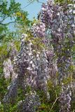 As flores abundantes da glicínia abrem na luz do sol da tarde-mola foto de stock