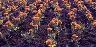As flores alaranjadas do outono da bandeira do surrealismo na terra dos tagetis florescem em seguido fotos de stock royalty free