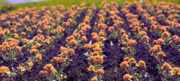 As flores alaranjadas do outono da bandeira do surrealismo na terra dos tagetis florescem em seguido fotografia de stock royalty free