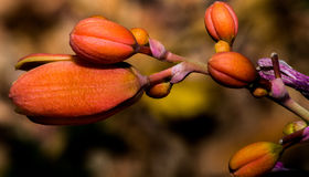 As flores alaranjadas minúsculas do arbusto do deserto que esperam para abrir Fotos de Stock Royalty Free