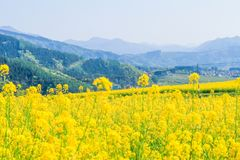 As flores amarelas bonitas que florescem no dia de mola, Nanohana florescem em Jap?o imagem de stock