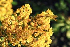 As flores amarelas brilhantes do fim do aquifolium do Mahonia acima Imagens de Stock Royalty Free