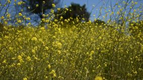 As flores amarelas calmas da mostarda com borboletas pintaram a senhora em uma brisa fresca delicada filme