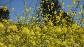 As flores amarelas calmas da mostarda com borboletas pintaram a senhora em uma brisa fresca delicada video estoque