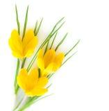 Flores/açafrões amarelos da mola Imagem de Stock