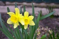 As flores amarelas dos narcisos amarelos saltam fotografia de stock royalty free