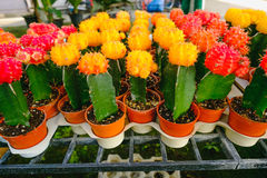 As flores amarelas e vermelhas do cacto em uns potenciômetros no cacto compram no mercado das flores Fotografia de Stock