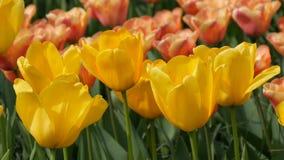 As flores amarelas interessantes pitorescas das tulipas florescem no jardim da mola Flor decorativa da flor da tulipa na mola em  vídeos de arquivo