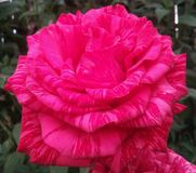 As flores, aumentaram, as pétalas, único, vermelhas, objetos, natureza, cores, planta, macro, imagem, fotografia, flor, corte, be Fotografia de Stock