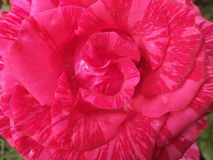 As flores, aumentaram, as pétalas, único, vermelhas, objetos, natureza, cores, planta, macro, imagem, fotografia, flor, corte, be Imagens de Stock