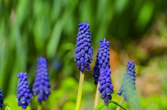 as flores azuis da mola absorvem os raios do ` s do sol imagens de stock