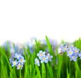 As flores azuis pequenas na grama verde/isolaram-se no backgro branco imagens de stock royalty free