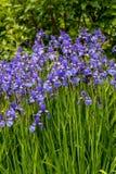 As flores azuis tornam iridescente belamente a florescência versicolor no jardim fotografia de stock royalty free