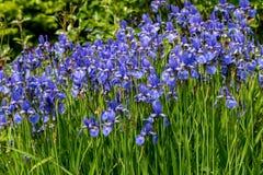 As flores azuis tornam iridescente belamente a florescência versicolor no jardim imagem de stock royalty free