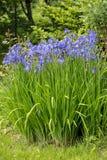 As flores azuis tornam iridescente belamente a florescência versicolor no jardim imagem de stock