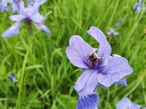 As flores azuis tornam iridescente a flor no jardim do verão O zangão recolhe o néctar na flor da íris foto de stock royalty free