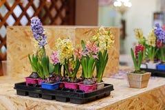 As flores bonitas coloridas do jacinto em uns potenciômetros de flor plásticos estão em um contador Imagem de Stock