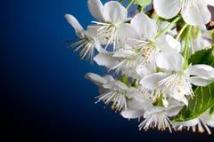 As flores bonitas da cereja floresceram close-up Foto de Stock Royalty Free
