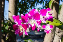 As flores bonitas das orquídeas roxas da cor é símbolo de Thail foto de stock royalty free
