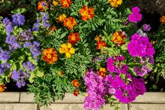 As flores bonitas do Ageratum das cores diferentes, do paniculata dos cravos-de-defunto de Tagetes e do flox ou do flox azul do j fotografia de stock