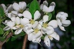 As flores bonitas são florescidas na árvore de maçã Fotos de Stock Royalty Free