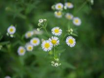 As flores brancas bonitas fazem-me a pena calma fotos de stock royalty free