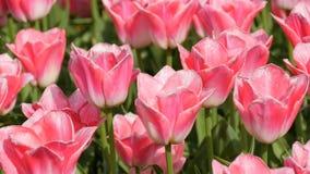 As flores brancas cor-de-rosa deliciosas bonitas frescas das tulipas florescem no jardim da mola Flor decorativa da flor da tulip filme