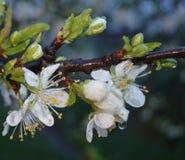 As flores brancas da ameixa cobriram gotas da chuva Imagem de Stock